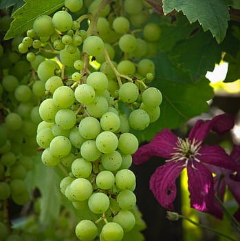 Aroma primario en los vinos. Terpenos